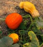 Orange pumpkin on ground. In thailand Royalty Free Stock Images