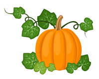 Orange pumpkin with leaves. Vector illustration. Royalty Free Stock Images