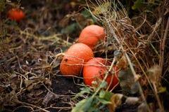 Orange pumpkin. S on the farm Royalty Free Stock Photos