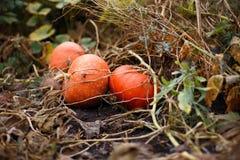 Orange pumpkin. S on the farm Royalty Free Stock Photo