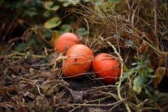 Orange pumpkin. S on the farm Royalty Free Stock Image