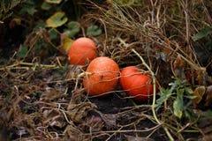 Orange pumpkin. S on the farm Royalty Free Stock Images