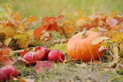 Orange pumpkin with red apples in autumn. Royalty Free Stock Image