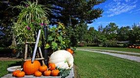 Orange Pumpkins. At harvest time Stock Image