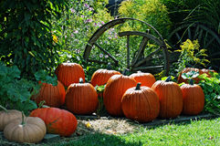 Orange Pumpkins. At harvest time Royalty Free Stock Photography