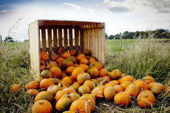 Orange pumpkins Royalty Free Stock Photos
