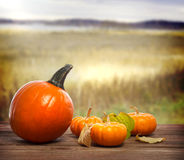 Orange pumpkins. With autumn brown field background royalty free stock photography