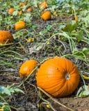 Orange pumpkins in a farm field Royalty Free Stock Photo