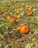 Orange pumpkins in a farm field Royalty Free Stock Image