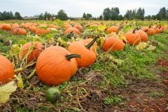 Orange pumpkins in field. Large orange pumpkins cut from their vines in field ready for choosing for jack-o-lanterns Royalty Free Stock Image