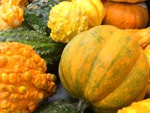Orange pumpkins and gourds. Royalty Free Stock Photos
