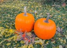 Orange pumpkins in green grass sun bright. Autumn harvest Thanksgiving or Halloween. Beautiful ripe pumpkins closeup on green lawn Stock Images