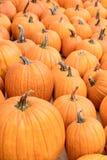 Orange Pumpkins for Halloween, Jack-o-Lantern squash background. For autumn season royalty free stock image
