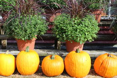 Orange pumpkins and hardy mums Royalty Free Stock Image