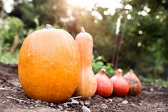 Orange pumpkins laid on the ground. Sunny autumn nature. Royalty Free Stock Photo