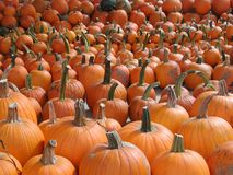 Orange pumpkins lined up in rows for sale royalty free stock photography