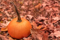 Pumpking in autumn leafs royalty free stock photography