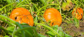 Orange pumpkins at outdoor farmer market. pumpkin patch royalty free stock photography