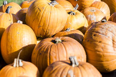 Orange pumpkins in a random pile Stock Image