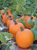 Orange pumpkins in a row in the field among the vines royalty free stock images