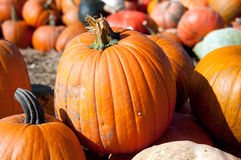 Orange Pumpkins Royalty Free Stock Images