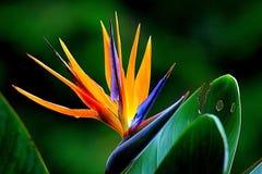 Orange and Purple Birds of Paradise Flower Royalty Free Stock Image