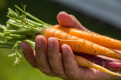 Orange and purple carrot crop Stock Image