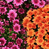 Orange and purple chrysanthemum flowers Royalty Free Stock Images