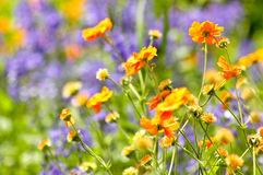 Orange and purple flowers. Many orange and purple flowers in a sunny spring day Stock Image