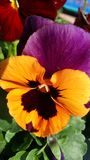 Orange and Purple pansy Stock Images