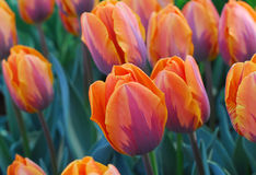 Orange purple tulip flower Stock Images