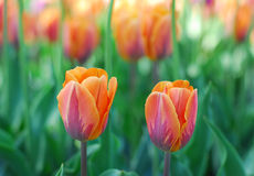 Orange purple tulip flower Royalty Free Stock Photos