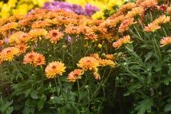 Orange, Purple and Yellow Crysanthemums royalty free stock image