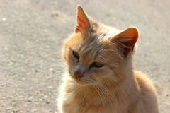 Orange pussycat Royalty Free Stock Photography