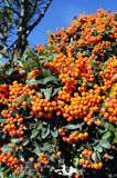 Orange pyracantha Royalty Free Stock Photography