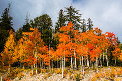 Orange Quaking Aspen Royalty Free Stock Photography
