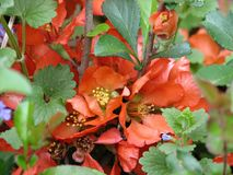 Orange Quince. Beautiful orange Quince blossoms royalty free stock photos