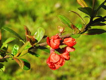 Orange quince flowers Royalty Free Stock Images