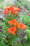 Orange röd liljablomning Fotografering för Bildbyråer