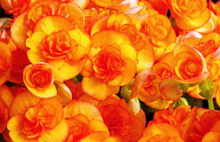 Orange röda begonior Arkivbild