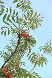 Orange rönnbär på ett träd Sorbus Royaltyfri Fotografi