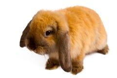 Orange rabbit Stock Images