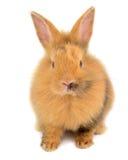 Orange rabbit Royalty Free Stock Image