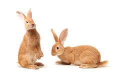 Orange rabbit Stock Photography