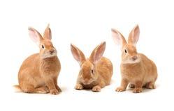 Orange rabbit Stock Photography