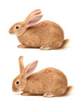 Orange rabbit Royalty Free Stock Photo