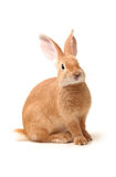 Orange rabbit Stock Photo