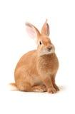 Orange rabbit Stock Photo