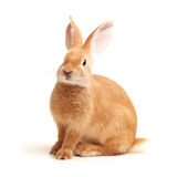 Orange rabbit Stock Image
