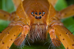 An orange raft spider Royalty Free Stock Photo